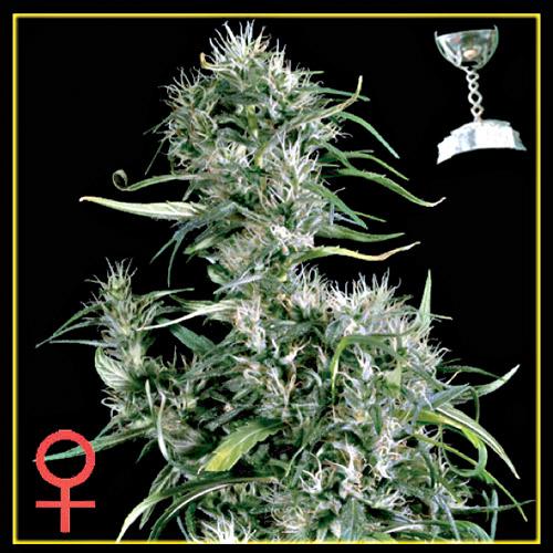 Planta de marihuana Neville's Haze