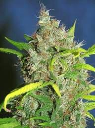 Cogollo de marihuana Il Diavolo