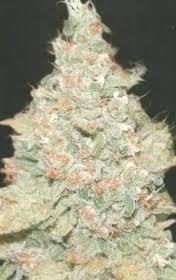Cogollo de cannabis Wembley