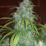 cogollo de marihuana red dwarf
