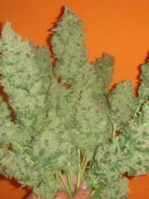 Marihuana Jack La Mota de Medical Seeds