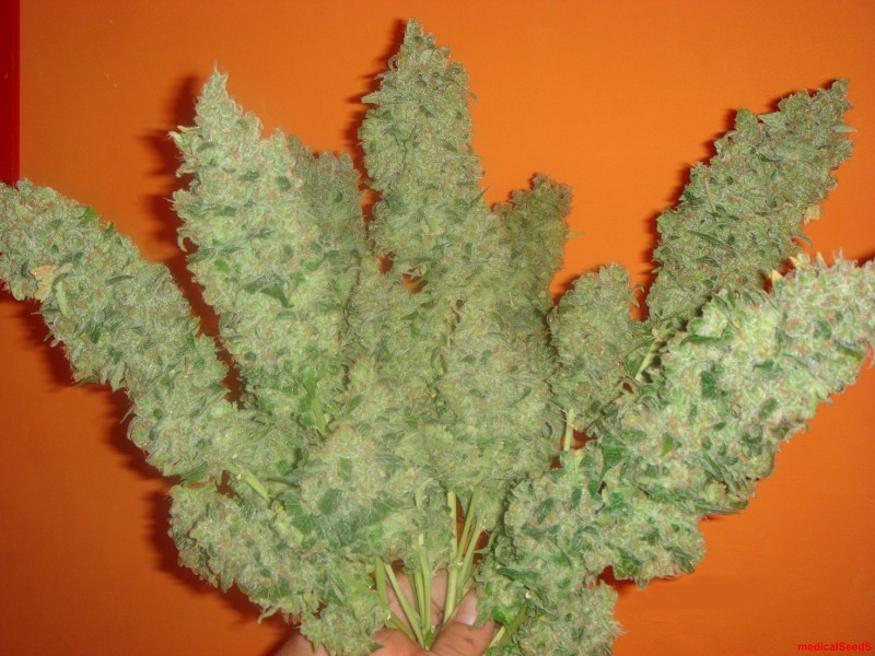 Marihuana Jack La Mota de Medical Seeds