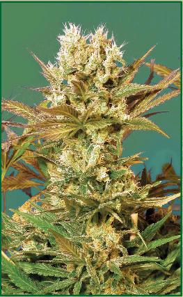 Marihuana Serious Seeds