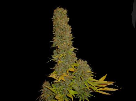 Marihuana Kahuna