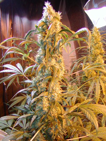 Marihuana Mango x Widow de Mr.Nice