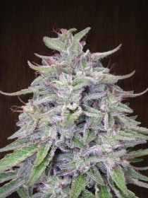 Bangi Haze de ACE Seeds