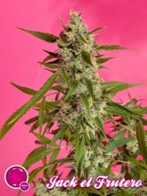 Marihuana Jack el Frutero de Philosopher Seeds