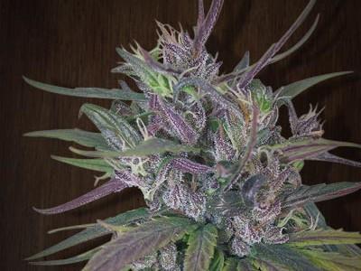 marihuana Oldtimers Haze