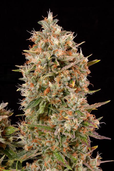 Marihuana Dinachem