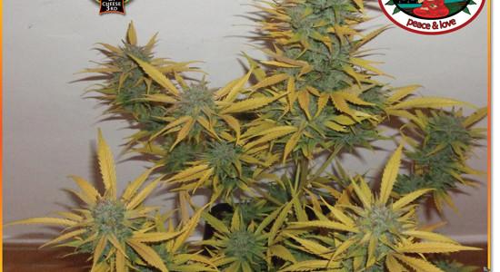 Marihuana LA Cheese