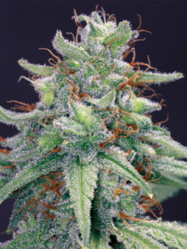 Cannabis Blue Cheese de Barney's Farm