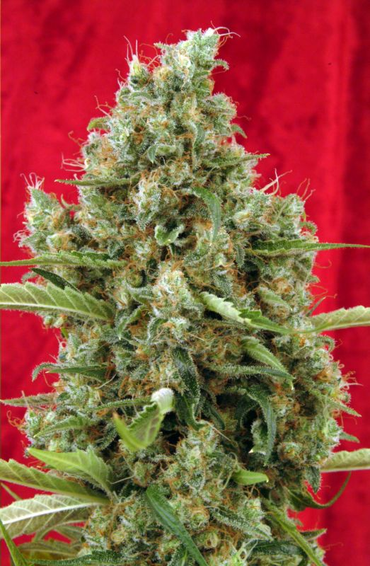 Marihuana Session de Reggae Seeds