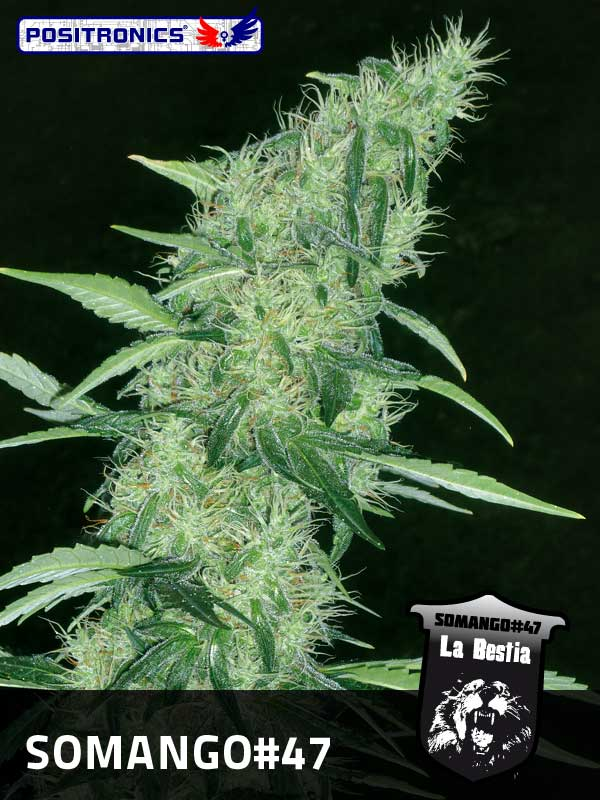 Marihuana Somango47