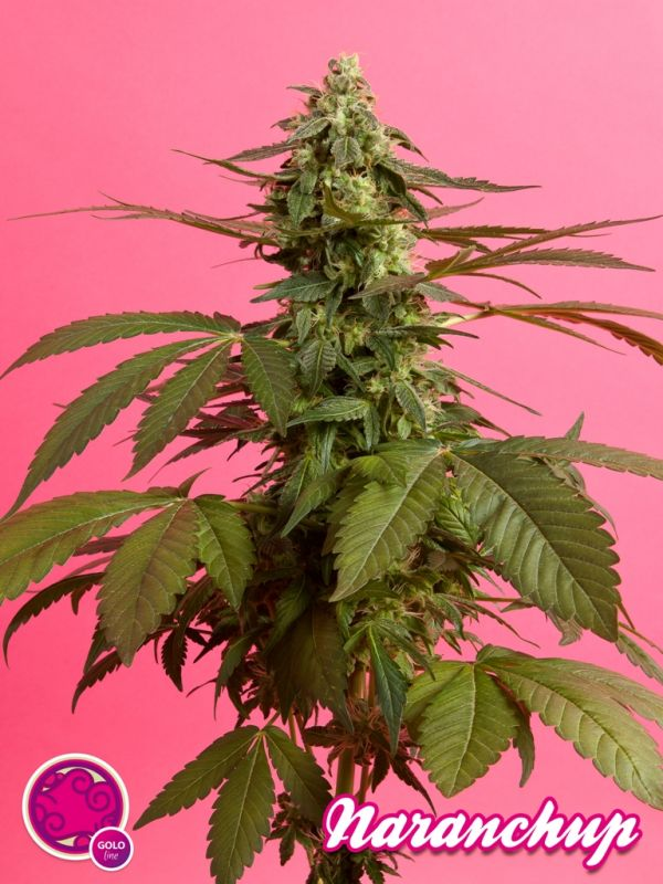 Cannabis Naranchup del banco de semillas Philosopher Seeds