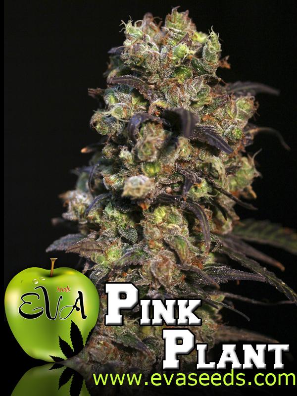 marihuana Pink Plant de Eva Seeds