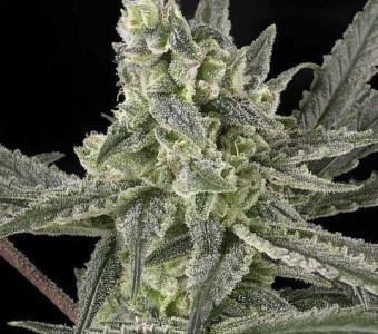 Marihuana Old School de Ripper Seeds