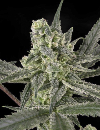 Marihuana Old School de Ripper Seeds