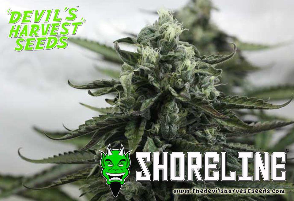 Marihuana Shoreline