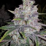 Cogollo marihuana Shoreline