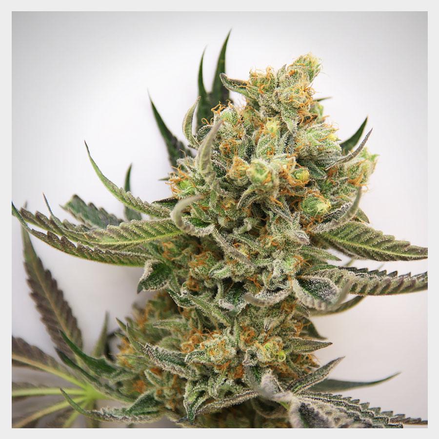 Marihuana Starbud