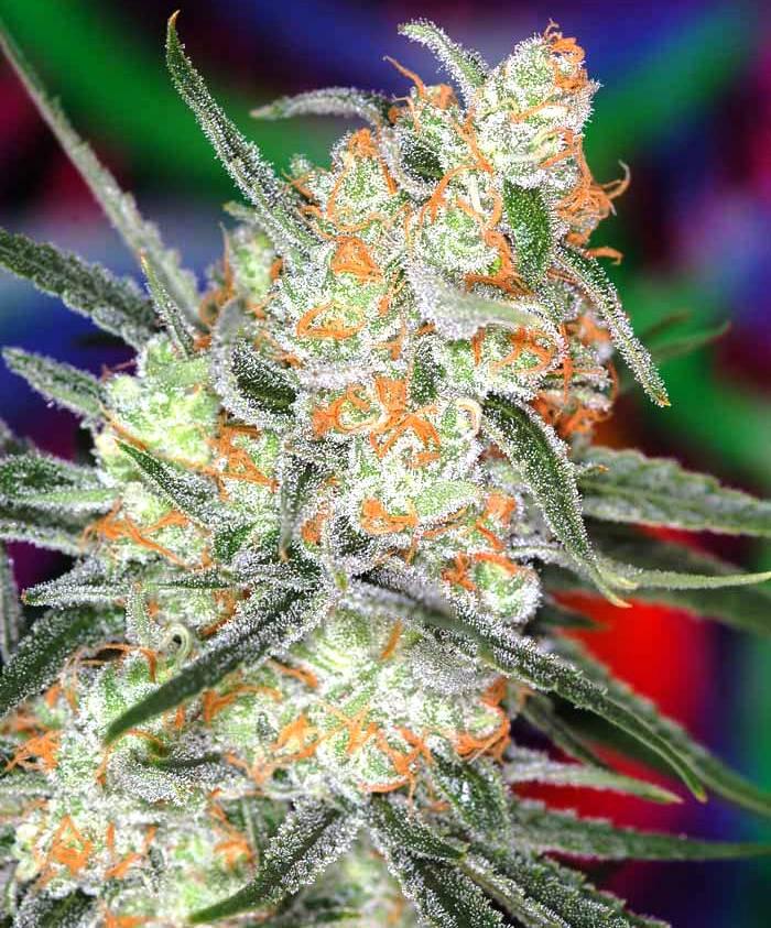 Marihuana Space Bomb cruce de Space Queen