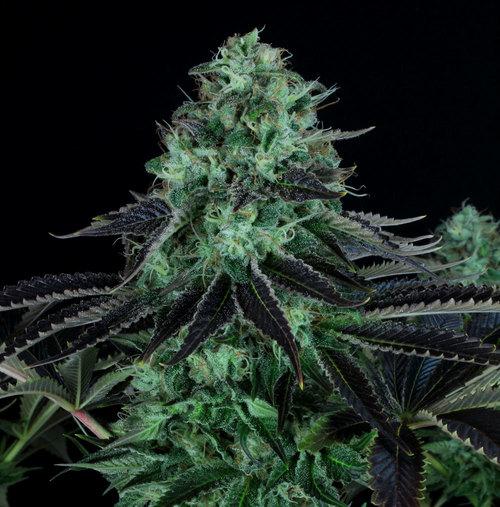 Cogollo de marihuana Darkstar