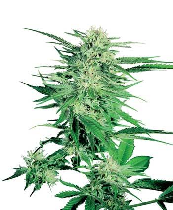 Marihuana big Bud