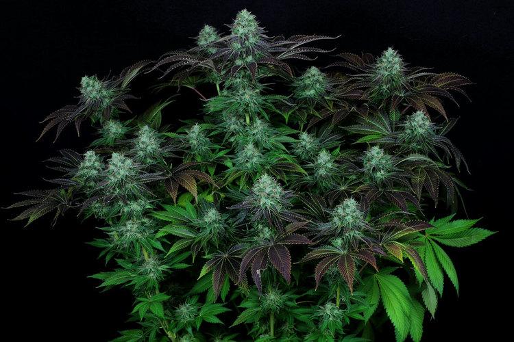 Marihuana Darkstar