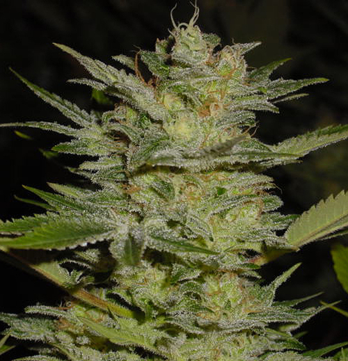 Marihuana Heavy Duty Fruity