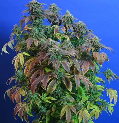 marihuana Heavy Duty Fruity