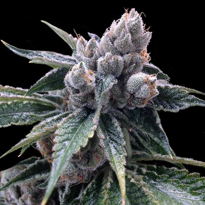 White Walker Kush de Grow Your Own
