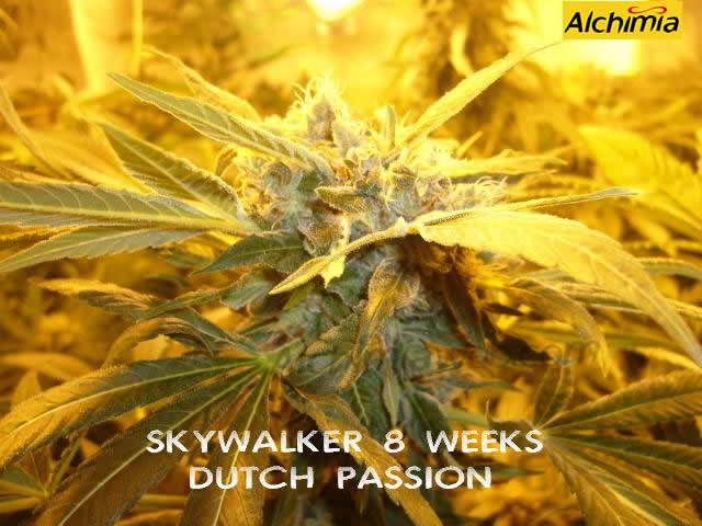 Marihuana Skywalker foto de Alchimiaweb.com