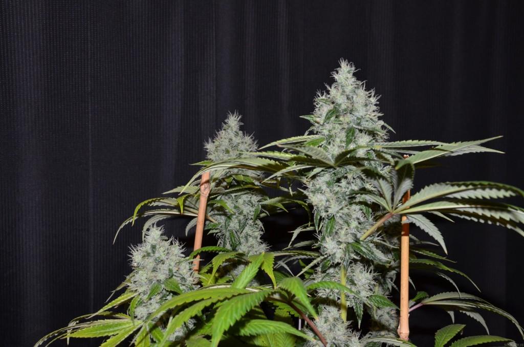 Marihuana Og #18 de Reserva Privada