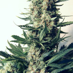 Marihuana Critical 47 de Positronics