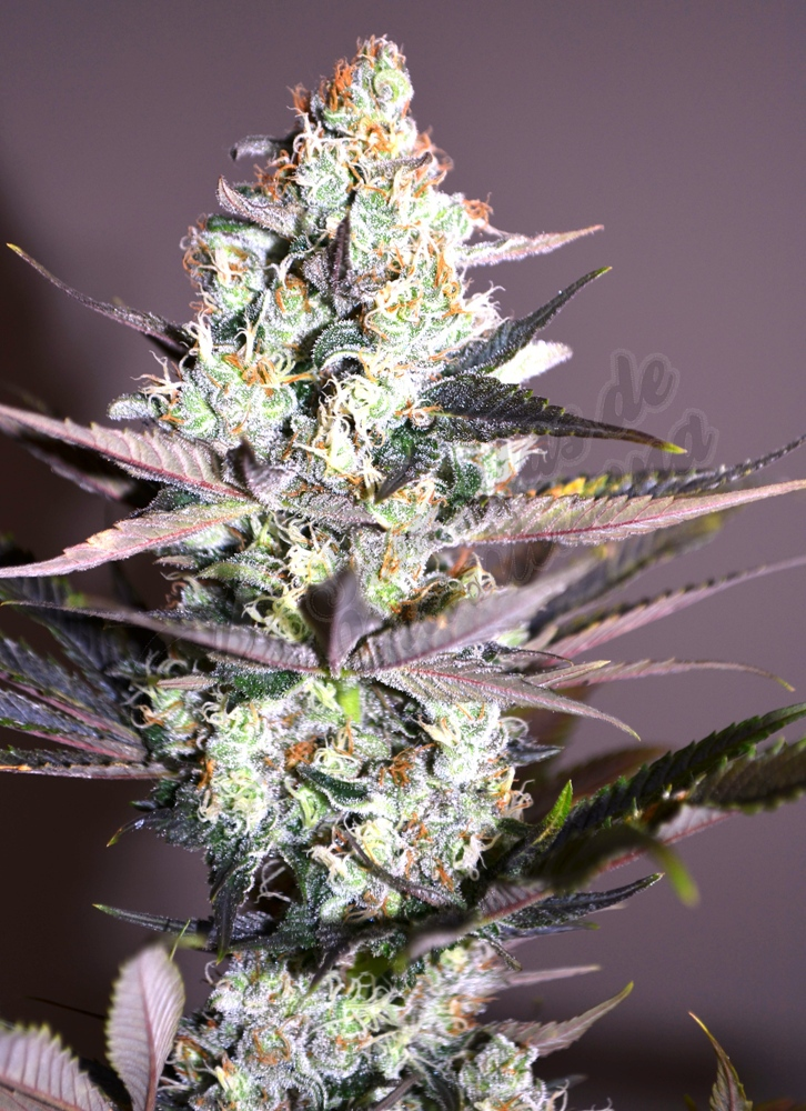 Cogollo de marihuana Critical Kush