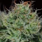 Marihuana Orange Haze