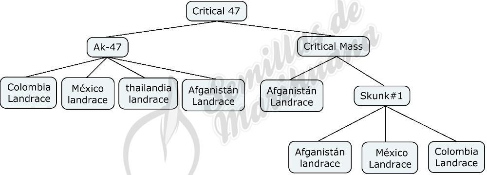 Mapa genético de Critical 47