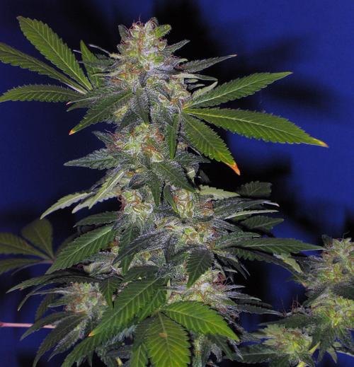 Marihuana The Hog de TH Seeds