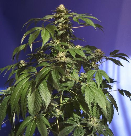 Planta de marihuana The Hog