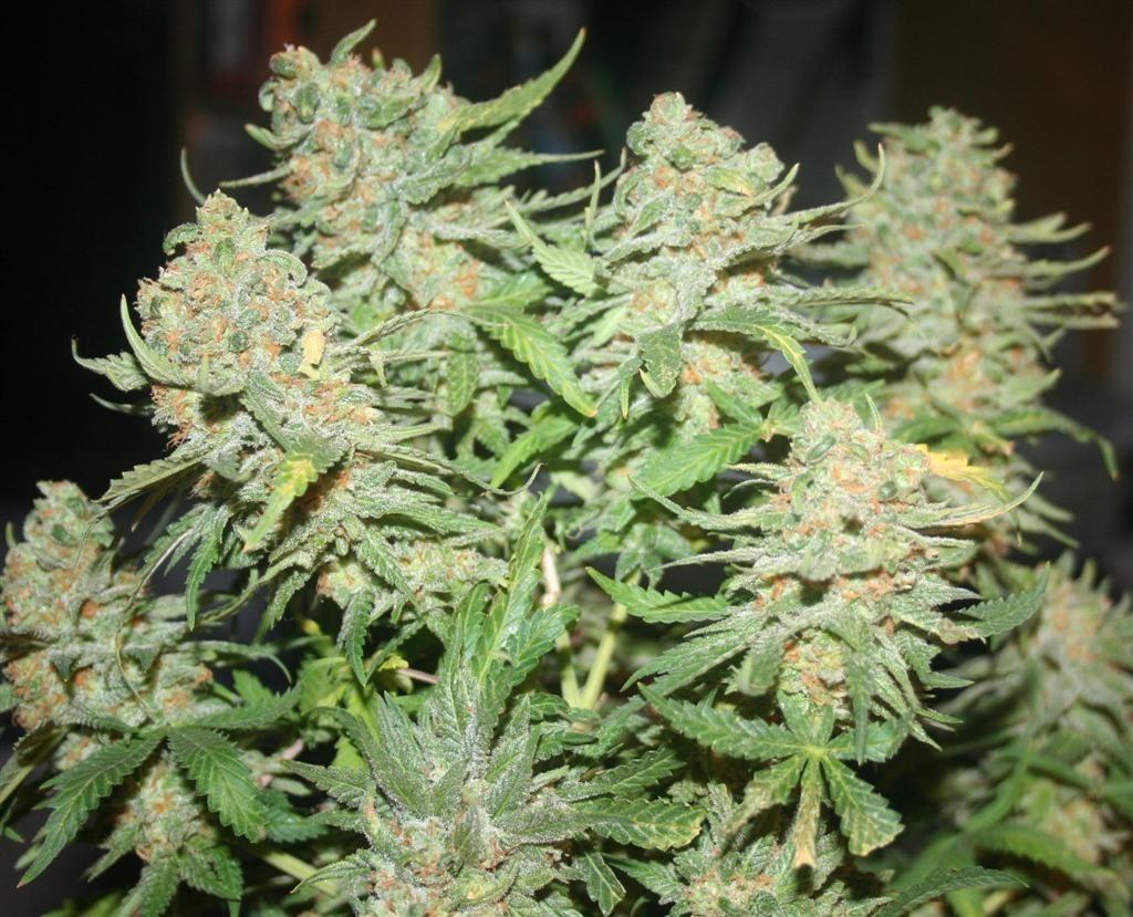 Marihuana Skunk#1