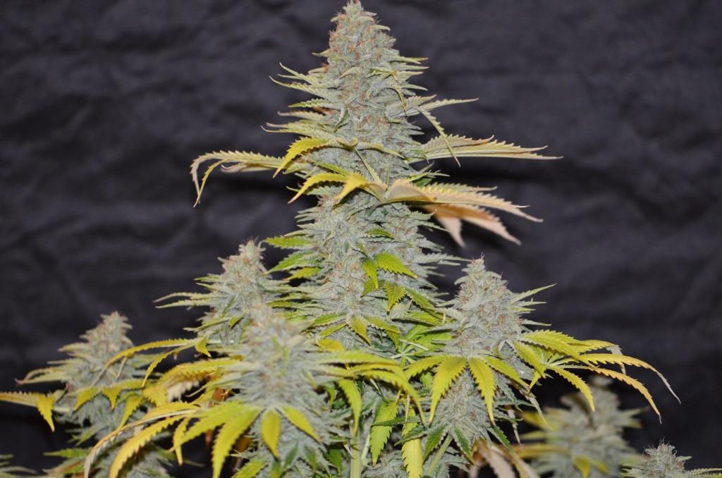 marihuana Furious Candy