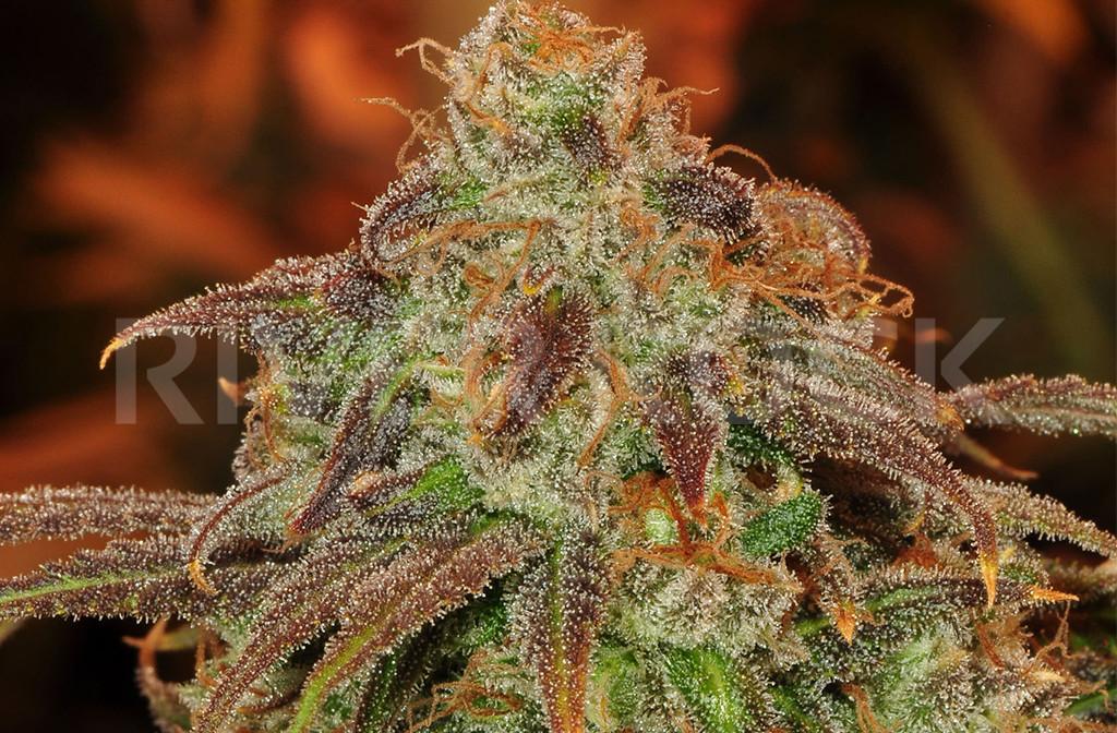 Cannabis Shiskaberry