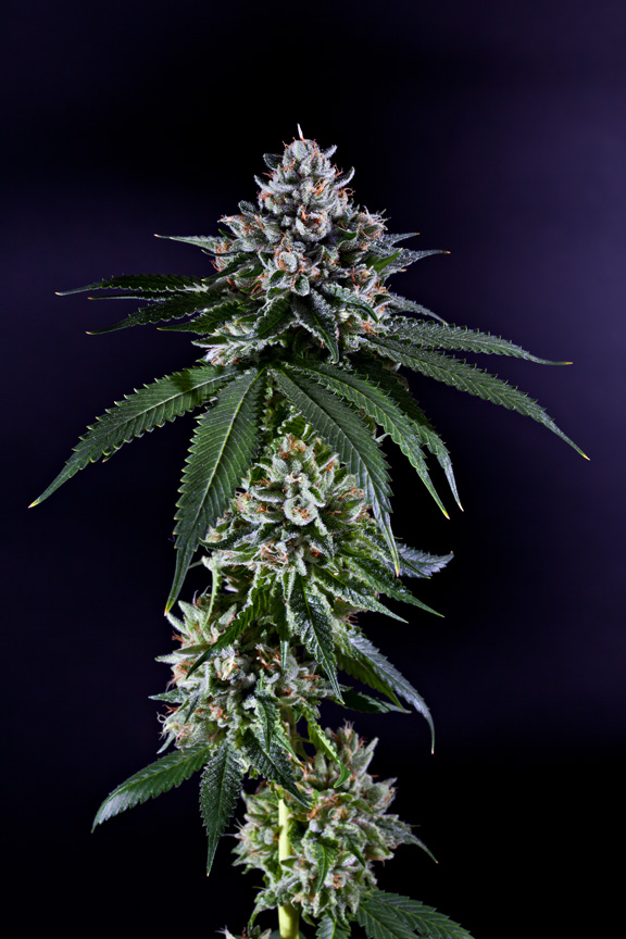 Cannabis Ken's Kush