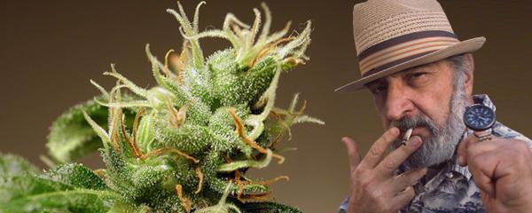 Jack Herer de Sensi Seeds