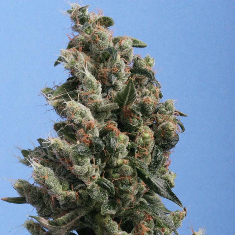 Kushage de TH seeds
