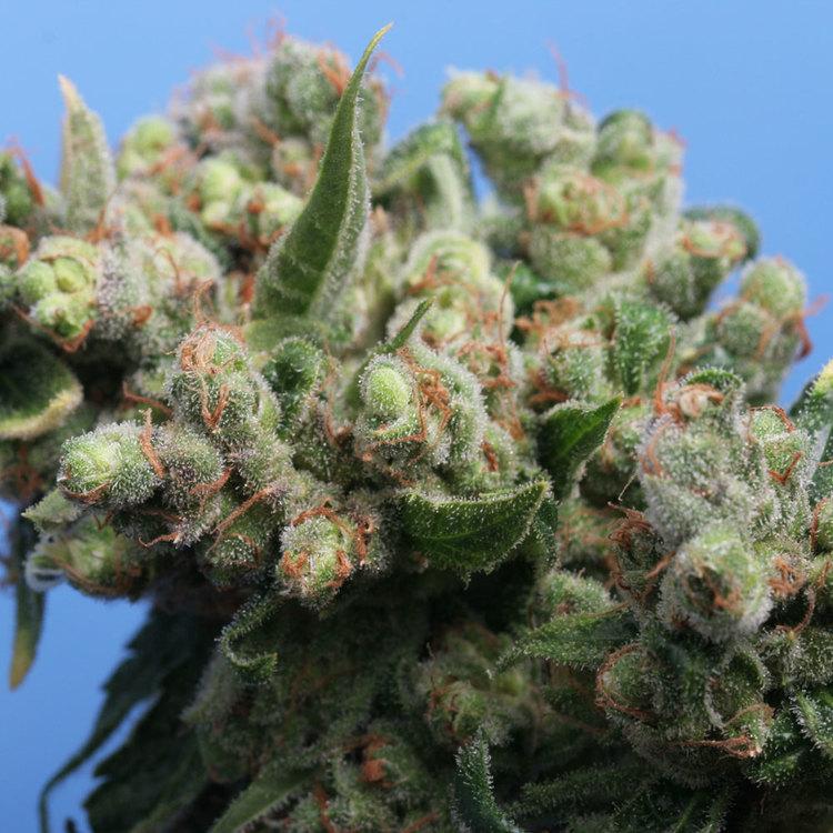 Marihuana Kushage de TH Seeds