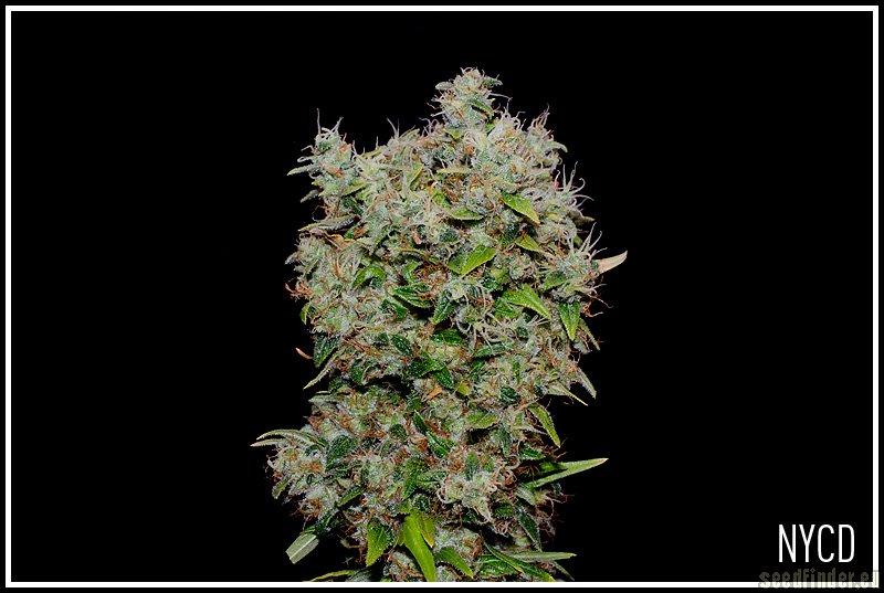 Marihuana NYC Diesel