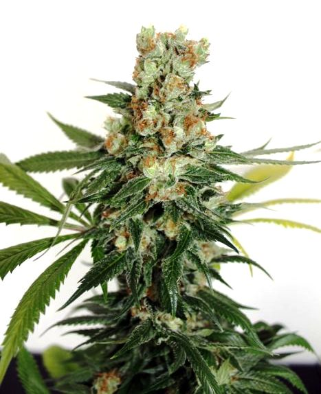 Marihuana Fuel OG de Ripper Seeds