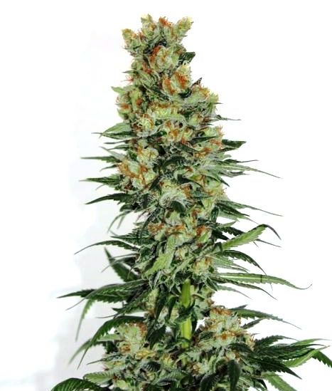Cogollo de Fuel Og de Ripper Seeds