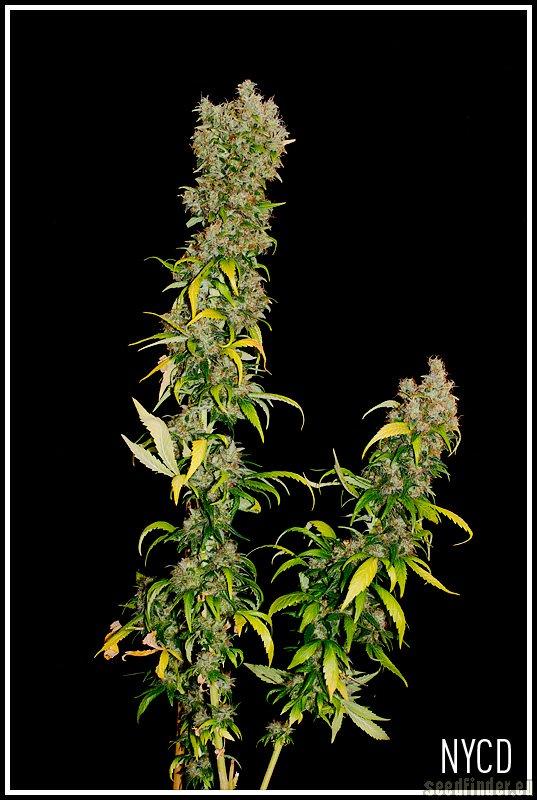 Cannabis NYC Diesel